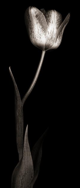 チューリップ「モノクロのチューリップ」:スマホ壁紙(18)