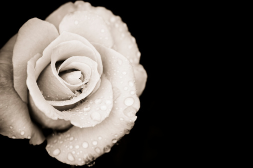 Sepia Toned「Monochrome rose with rain drops」:スマホ壁紙(14)