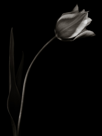 Sepia Toned「Monochrome tulip with light edges」:スマホ壁紙(0)