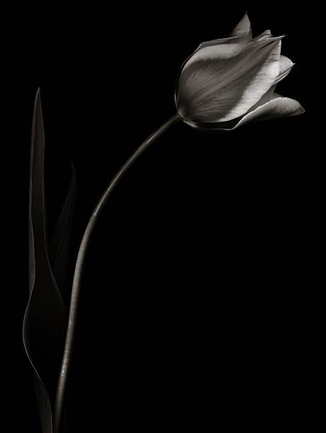 Monochrome tulip with light edges:スマホ壁紙(壁紙.com)