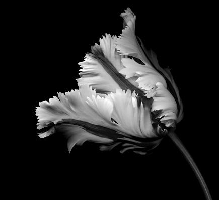 チューリップ「黒の背景に白黒のオウム チューリップ」:スマホ壁紙(11)