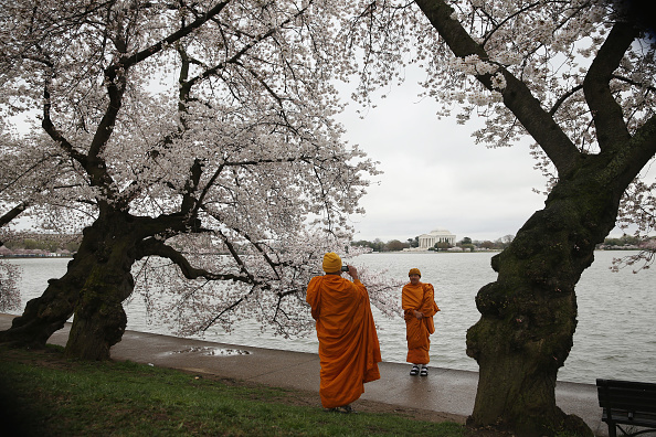 Cherry Blossom「Washington D.C.'s Cherry Blossoms Begin To Bloom」:写真・画像(11)[壁紙.com]