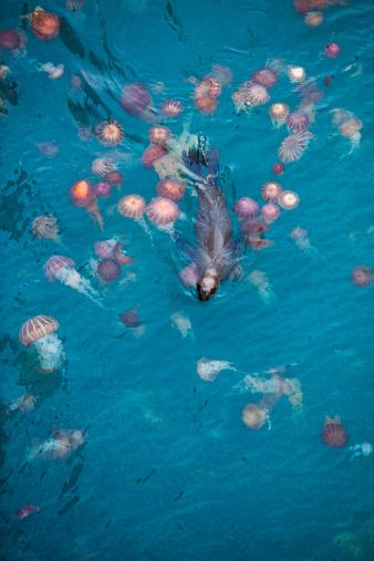 Sea Lion「Sea lion swims through sea of jellyfish」:スマホ壁紙(5)