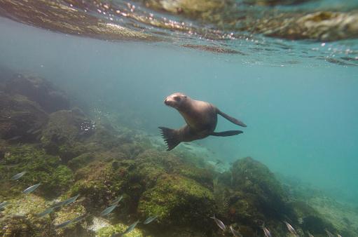 ガラパゴス諸島「A Sea Lion Swimming Under The Water's Surface Watching A School Of Fish; Galapagos, Equador」:スマホ壁紙(4)