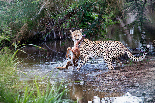 African Cheetah「Cheetah catching prey in the Serengeti」:スマホ壁紙(14)