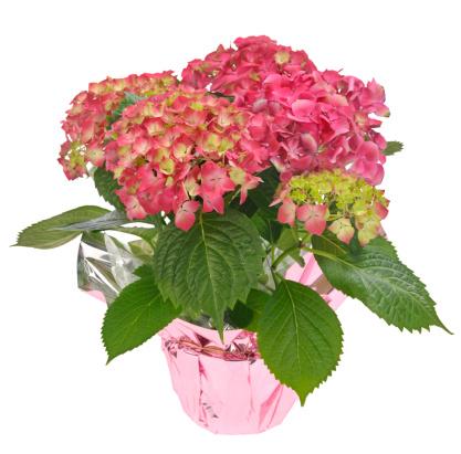 あじさい「注封ホッコクアジザイお花のブーケ、グリーンの葉、白色背景」:スマホ壁紙(12)