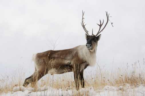 野生動物「Bull Caribou Standing On Hilltop In Snow Standing At Attention」:スマホ壁紙(7)