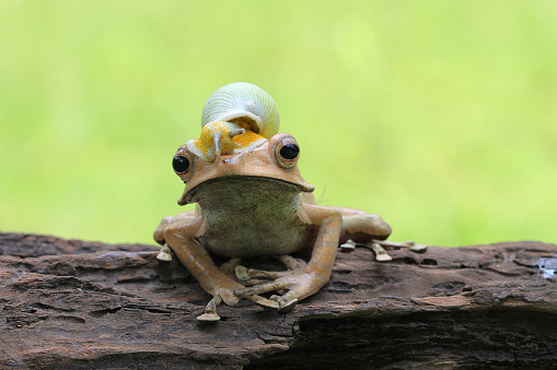 snails「Snail sitting on top of an eared frog, Indonesia」:スマホ壁紙(9)
