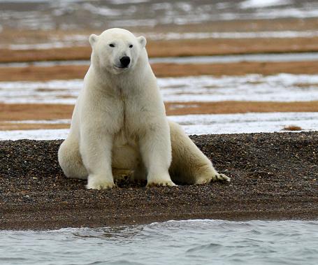 Polar Bear「Large Polar bear sitting in the beach」:スマホ壁紙(7)