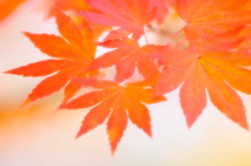 Japanese Maple「Orange Japanese Maple Leaf Cluster. Acer palmatum」:スマホ壁紙(11)