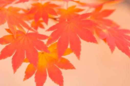 Japanese Maple「Orange Japanese Maple Leaves Trio. Acer palmatum」:スマホ壁紙(10)