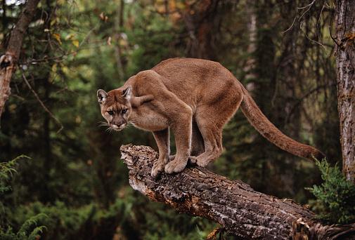Panther「Mountain Lion on Tree Stump」:スマホ壁紙(5)