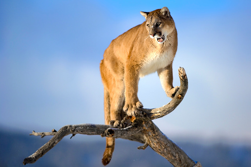 Claw「Mountain lion is standing on deadwood and roaring」:スマホ壁紙(13)