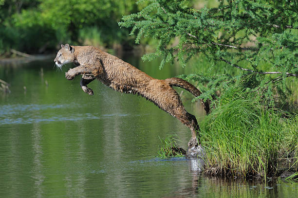 Mountain Lion jumping into water.:スマホ壁紙(壁紙.com)