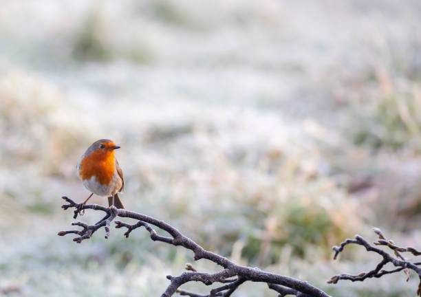 A European Robin, Erithacus rubecula, perching on a frosty branch with a defocussed snowy background.:スマホ壁紙(壁紙.com)