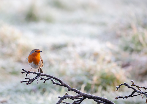 Alertness「A European Robin, Erithacus rubecula, perching on a frosty branch with a defocussed snowy background.」:スマホ壁紙(12)