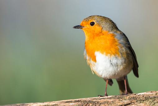 Bird「European robin」:スマホ壁紙(9)