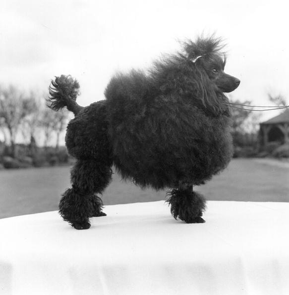 Domestic Animals「Toy Poodle」:写真・画像(0)[壁紙.com]