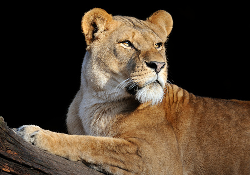 Lioness - Feline「Lioness looking to the right on a log in a black background」:スマホ壁紙(9)