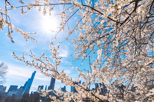 桜「Springtime sunlight illuminates Cherry blossoms, and Manhattan skyscrapers at the Sheep Meadow in Central Park New York.」:スマホ壁紙(12)