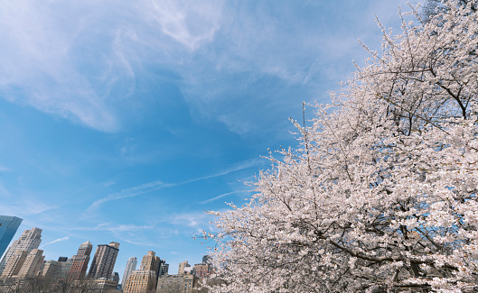 桜「Springtime sunlight illuminates Cherry blossoms, and Manhattan skyscrapers at the Sheep Meadow in Central Park New York.」:スマホ壁紙(8)