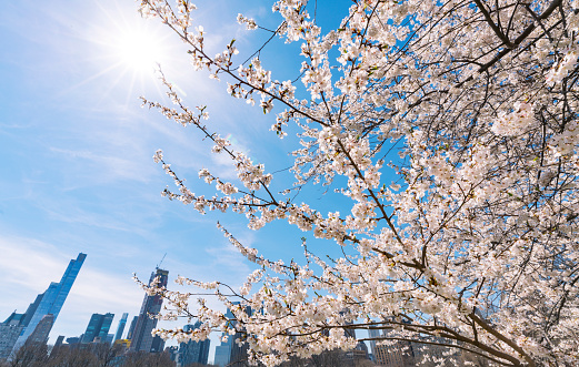 桜「Springtime sunlight illuminates Cherry blossoms, and Manhattan skyscrapers at the Sheep Meadow in Central Park New York.」:スマホ壁紙(9)
