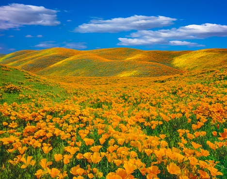 Agricultural Field「Springtime poppy super bloom at Antelope Valley CA」:スマホ壁紙(11)