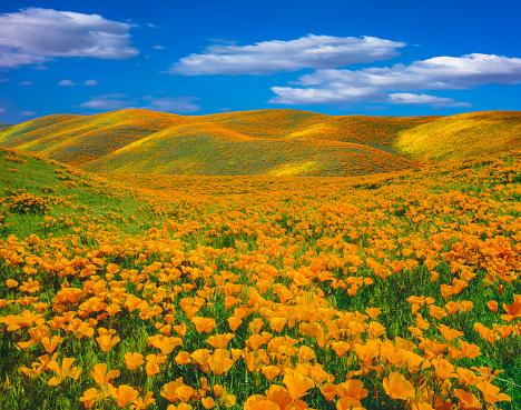 USA「Springtime poppy super bloom at Antelope Valley CA」:スマホ壁紙(15)