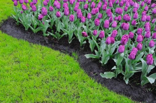 Keukenhof Gardens「Springtime Garden Design with Tulip, close up.」:スマホ壁紙(11)
