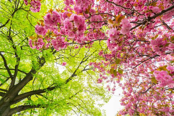 Springtime soft sunlight illuminates a fresh green tree and Cherry blossoms at Central Park New York.:スマホ壁紙(壁紙.com)