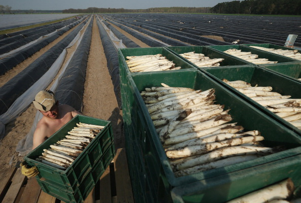 Asparagus「Workers Harvest Asparagus In Beelitz Region」:写真・画像(16)[壁紙.com]
