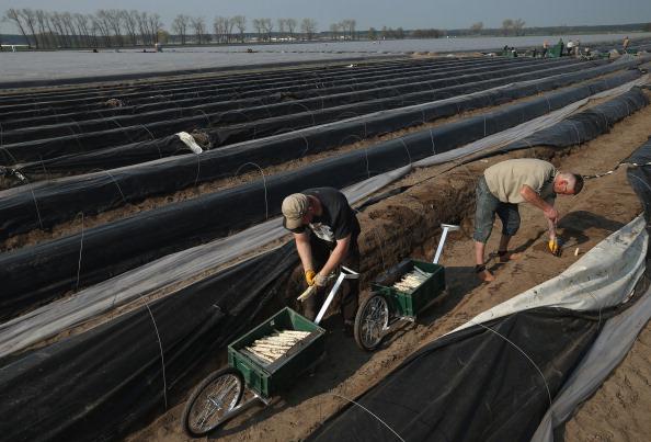 Asparagus「Workers Harvest Asparagus In Beelitz Region」:写真・画像(5)[壁紙.com]