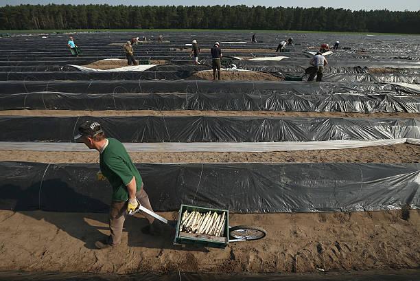 Workers Harvest Asparagus In Beelitz Region:ニュース(壁紙.com)
