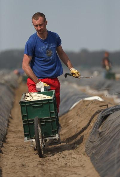 White Asparagus「Workers Harvest Asparagus In Beelitz Region」:写真・画像(11)[壁紙.com]