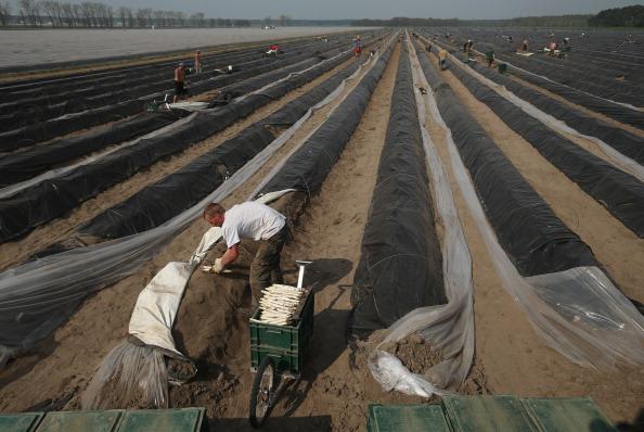 Asparagus「Workers Harvest Asparagus In Beelitz Region」:写真・画像(7)[壁紙.com]