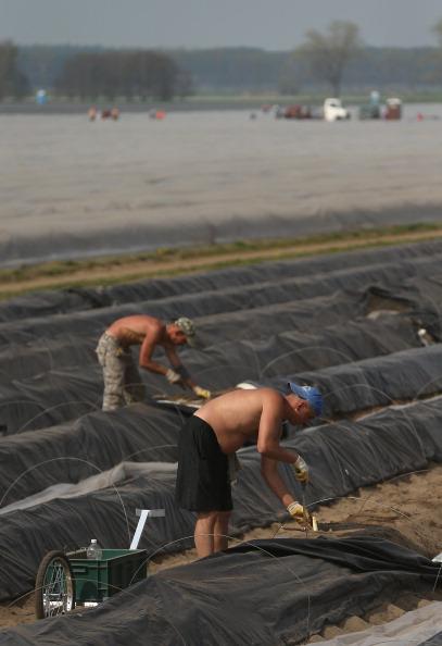 Asparagus「Workers Harvest Asparagus In Beelitz Region」:写真・画像(17)[壁紙.com]
