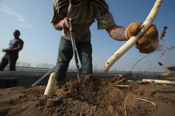 Asparagus「Workers Harvest Asparagus In Beelitz Region」:写真・画像(1)[壁紙.com]