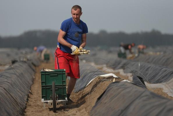 Asparagus「Workers Harvest Asparagus In Beelitz Region」:写真・画像(6)[壁紙.com]