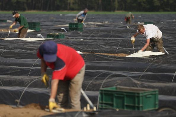 Asparagus「Workers Harvest Asparagus In Beelitz Region」:写真・画像(18)[壁紙.com]