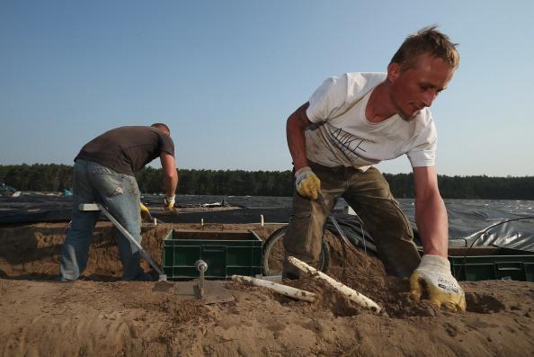 Asparagus「Workers Harvest Asparagus In Beelitz Region」:写真・画像(19)[壁紙.com]