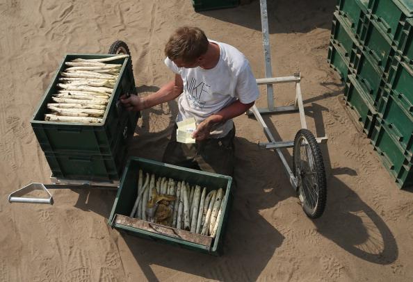 Asparagus「Workers Harvest Asparagus In Beelitz Region」:写真・画像(9)[壁紙.com]
