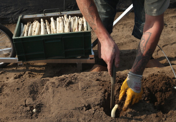 Asparagus「Workers Harvest Asparagus In Beelitz Region」:写真・画像(10)[壁紙.com]