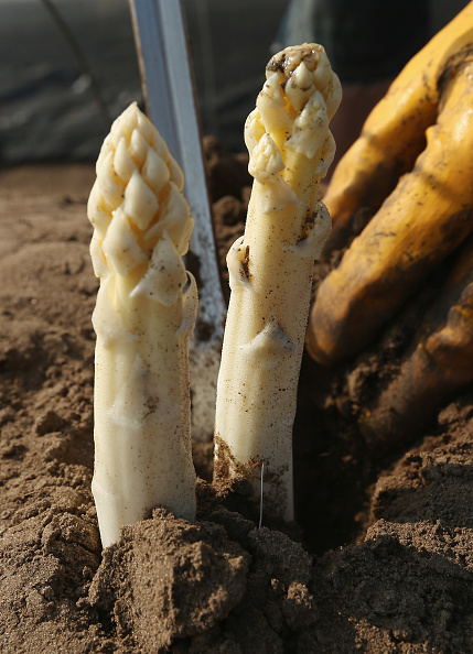 Asparagus「Workers Harvest Asparagus In Beelitz Region」:写真・画像(4)[壁紙.com]