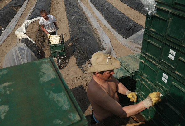 Asparagus「Workers Harvest Asparagus In Beelitz Region」:写真・画像(8)[壁紙.com]