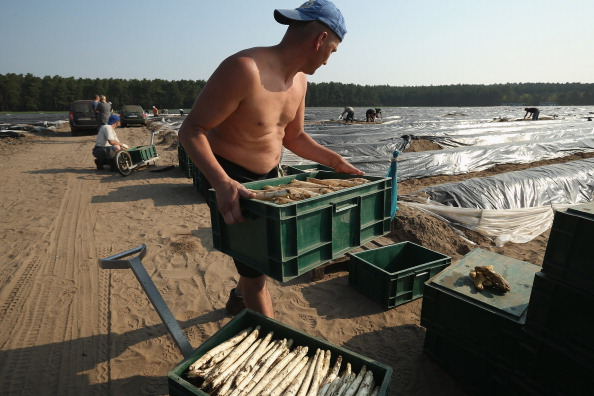 Asparagus「Workers Harvest Asparagus In Beelitz Region」:写真・画像(15)[壁紙.com]
