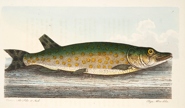Animal Body Part「The Pike」:写真・画像(9)[壁紙.com]