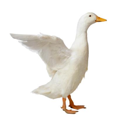 Animal Wing「White Pekin Duck Flapping Wings」:スマホ壁紙(13)