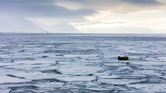 Pack Ice「Walruses on fragmented pack ice, Odobenus Rosmarus, Spitzbergen, Svalbard」:スマホ壁紙(17)