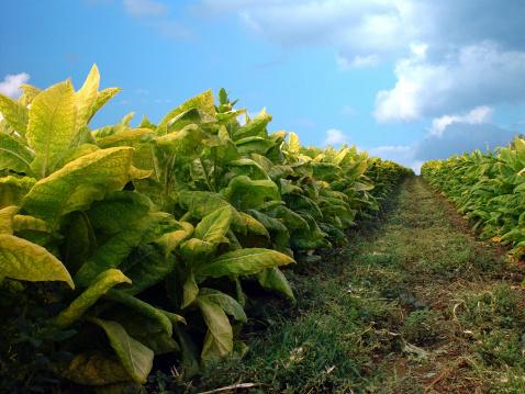 Unhygienic「Tobacco Plants」:スマホ壁紙(2)