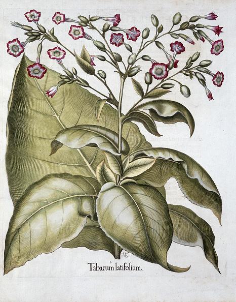 Tobacco Crop「Tobacco Plant 1613」:写真・画像(1)[壁紙.com]
